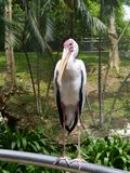 Milky stork in a bird park Stock Image