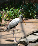 Milky Stork Royalty Free Stock Photo
