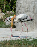 Milky Stork in farm Royalty Free Stock Photography