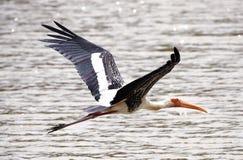 Milky Stork Stock Photos