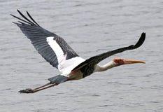 Milky Stork Royalty Free Stock Photography
