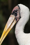 Milky stork head Royalty Free Stock Photography