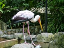 Milky Stork Royalty Free Stock Image