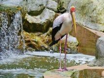 Milky Stork Stock Photo