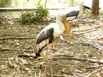 Milky Stork. Or Mycteria cinerea. The  & x28;Mycteria cinerea& x29; is a medium, almost completely white plumaged stork species found predominantly in coastal stock photos