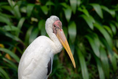 Milky stork Stock Photos