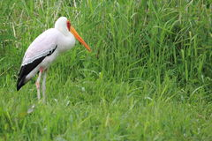 Milky stork Royalty Free Stock Image