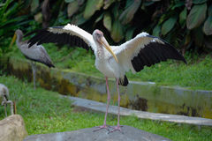 Milky stork Royalty Free Stock Photography