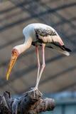 Milky Stork Stock Images