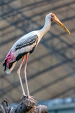 Milky Stork Stock Photography
