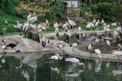 Milky storks bathe and fish in a small lake with other birds in Kuala Lumpur stock photo