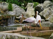 Milky storks in a bird park Royalty Free Stock Photos