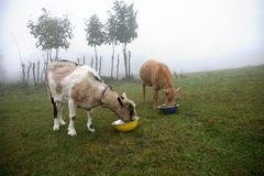 Milky two goats eating fodder Royalty Free Stock Photos