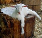 Milky white kid. White goat kid stock photography