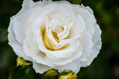 Milky white rose on a dark background. A blooming rose flower has been pleasing us with its beauty for several days stock photography
