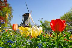 Mill. Dutch windmill and colorful tulips and forget-me-not flowers in spring garden 'Keukenhof', Holland Royalty Free Stock Photos