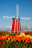 Mill at Blooming Field. Mill at blooming tulip field in sunny day Stock Photo