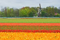 Mill and tulipfield. Mill with layers of colorful tulips in foreground Royalty Free Stock Photos