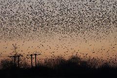 Millares de pájaros del estornino roosting en puesta del sol foto de archivo