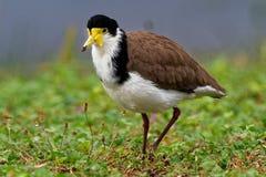 Millas del Vanellus - avefría enmascarada, ave zancuda de Australia imagen de archivo