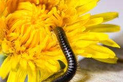 Mille-pattes rampant sur la fleur d'un pissenlit image libre de droits