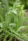 Millefeuille, feuilles de vert de millefolium d'Achillea image stock