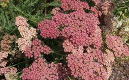 Millefolium Achillea, известное как тысячелистник обыкновенный стоковое фото rf