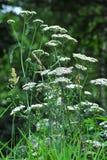 Millefolium Achillea Стоковое Изображение RF