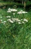 Millefolium Achillea Стоковая Фотография