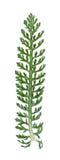 Millefolium d'Achillea Images libres de droits