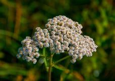 Millefolium de Achillea Foto de Stock