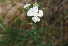 Millefolium de Achillea do â do Yarrow Fotografia de Stock