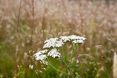 Millefolium de Yarrow Achillea Foto de archivo