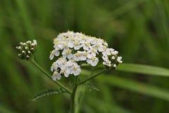 Millefolium di Achillea immagine stock libera da diritti