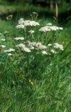 Millefolium di Achillea Fotografia Stock