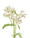 Millefolium L., millefoglie di Achillea fotografia stock libera da diritti