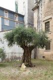 Millenary оливковое дерево, Коимбра, Португалия Стоковая Фотография