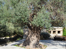 Millenary olive tree in Cyprus Royalty Free Stock Images