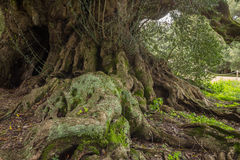 Millenary olive tree. In Sardinia Stock Photography