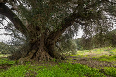 Millenary olive tree. In Sardinia Stock Images