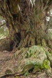 Millenary olive tree. In Sardinia Royalty Free Stock Photography