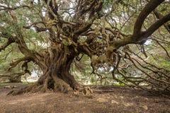 Millenary olive tree. In Sardinia Royalty Free Stock Photo
