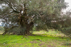 Millenary olive tree. In Sardinia Stock Image