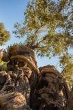 Millenary olivträd Fotografering för Bildbyråer