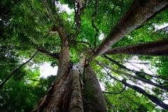 Millenary träd Fotografering för Bildbyråer
