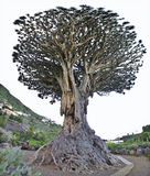 Millenium Dragon Tree (Dracaena draco). stock photo