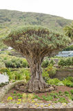 Millennial Drago tree at Icod de los Vinos, Tenerife. Royalty Free Stock Photography