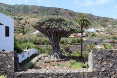 Millennial smoka drzewo Drago Milenario Icod De Los Vinos żywy Dracaena Draco w świacie, wielki i stary i fotografia royalty free