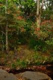 Millennio di Rosa (sottospecie di arboreum del rododendro. delavayi) in rainfo Fotografia Stock