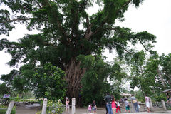 Millennium tree in baler. Philippines Royalty Free Stock Images